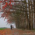 【彰化※竹塘】季節限定。木棉花步道