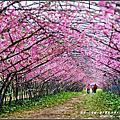 【南投☆仁愛鄉】春之饗宴-愛上梅峰.台灣大學山地實驗農場