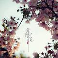 天元宮 舞櫻花