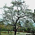 1020312阿里山櫻花