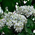 五月雪----油桐花盛開
