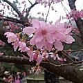 看看櫻花,陽明山