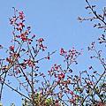 小公園,小確幸。 春陽,櫻花,樹與葉。