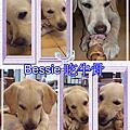 Bessie-導盲幼犬