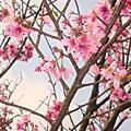 2009.03.18 陽明山花季