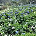 20130525竹子湖繡球花田