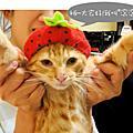 寄養的橘子貓-滾滾