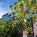 台南市政府阿勃勒