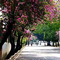 台南中山公園羊蹄甲