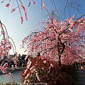 2015年京都賞櫻