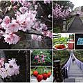 [台北內湖] 碧山巖櫻花