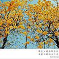 春天│黃花風鈴木下散散步