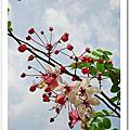 羊蹄甲.桃紅陣雨樹