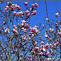 楓樹湖木蓮花開