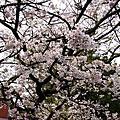 2007/04/18老媽阿里山