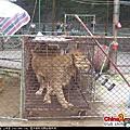 藏獒和德國牧羊犬看見獅子的不同反應