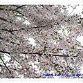 【首爾.櫻花雨】神仙雪濃湯、南山公園