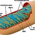 Mitochondrial Dynamics
