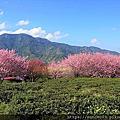 草坪頭玉山觀光茶園櫻花季