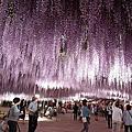 【日本● 足利紫藤公園_夜景篇】夜晚依舊閃閃發亮的紫藤夢幻步道