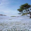 【茨城 ● 国営ひたち海浜公園】海天一色 | 藍色粉蝶花 | 世界十大浪漫花海