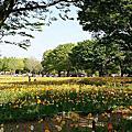 【東京 ● 国営昭和記念公園】睛艷冰島罌粟花海 ( Iceland Poppy )