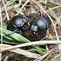 自然觀察IMAGE-推糞金龜-推便便的蟲