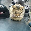 板橋的街貓