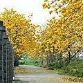 柳營 黃花風鈴木
