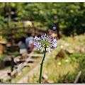 竹子湖賞紫陽