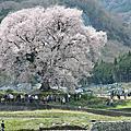 2012日本關東甲信花見自駕遊