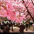 【台中】武陵農場--櫻花