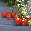找不到草莓園採草莓