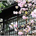 新竹麗池公園賞櫻