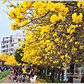 嘉義八掌溪畔黃金風鈴木大盛開