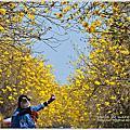 嘉義太保朴子溪畔黃金風鈴木
