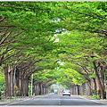 全台最美小葉欖仁綠色隧道之1--學甲174道路