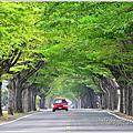 全台最美小葉欖仁綠色隧道之2--太保嘉44鄉道