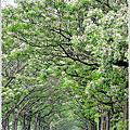 嘉義六腳鄉苦楝綠色隧道