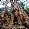 阿里山二萬坪山-樹抱石巨木-二萬坪巨木