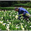竹子湖海芋2021
