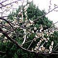20100123 清大梅園有梅花