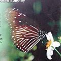 2006.02.12 茂林 . 多納溫泉 . 紫斑蝶