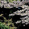 嘉義-阿里山櫻花季