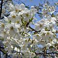 2009春遊東京--日比谷公園賞櫻