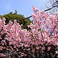 2009春遊東京--上野公園賞櫻(白天)