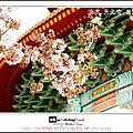 2008/3/21 淡水.天元宮.吉野櫻