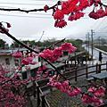 2013春節牛鬥櫻花