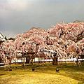 2012/04京都春櫻