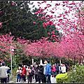 櫻花的魅力